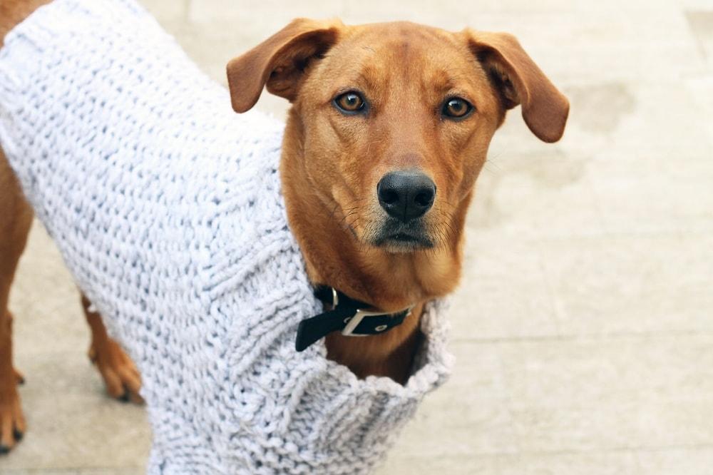 Dog Sweater Pattern Free Knitting Patterns Handy Little Me