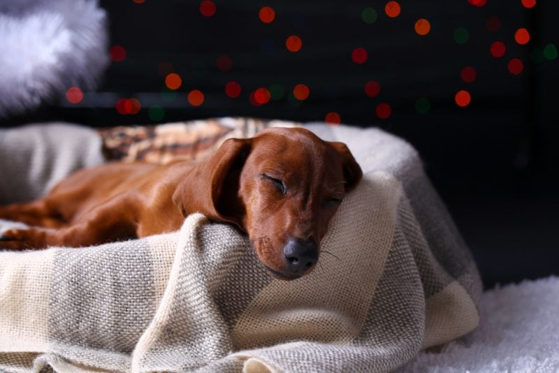 Dog sleeping in a dog bed with blanket