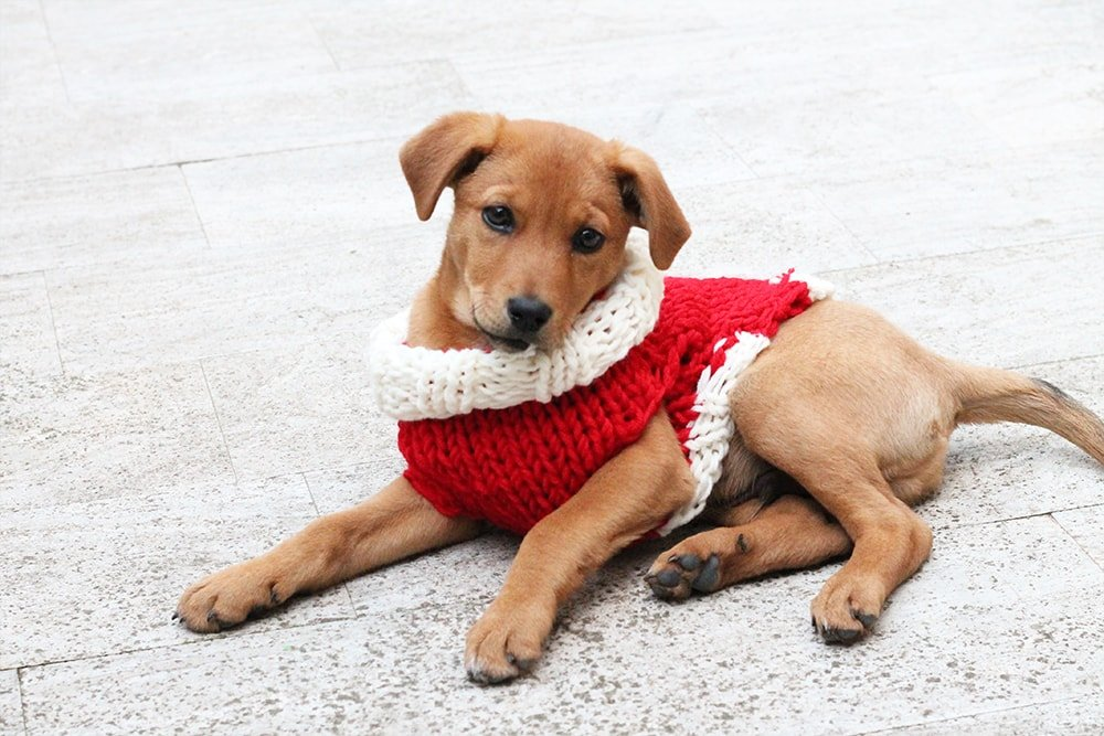 puppy wearing a knitted sweater
